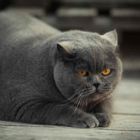 grey-fat-cat